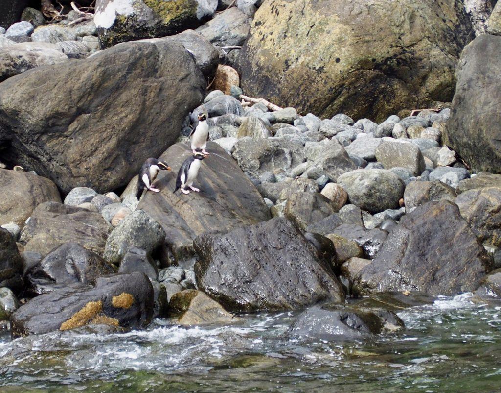 Zwergpinguine am Milford Sound.