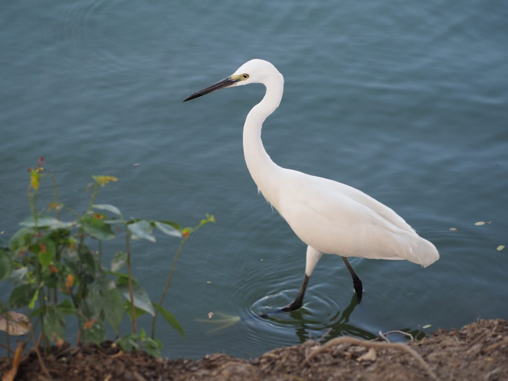 Ein schlanker weißer Vogel stakst am Seeufer durch das Wasser.